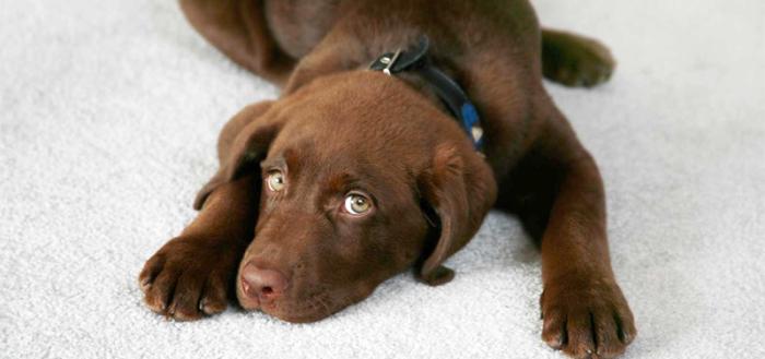 Как удалить с ковра запах собачьей мочи